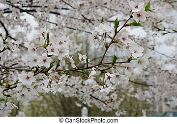 Spring time - Cherry blossoms in full bloom