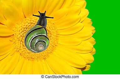 Snail on yellow gerbera flower with brigh neon green background