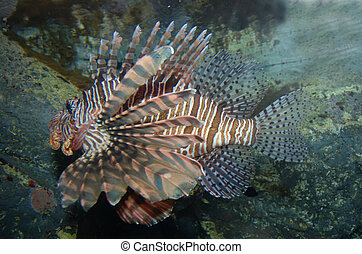 Lion Fish - Poisonous Lion Fish