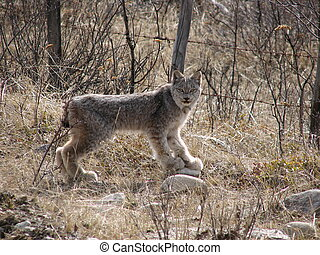 lynx - wild lynx in the canadian forest