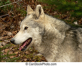 Wolf Portrait - Profile of female wolf face. Golden, British...