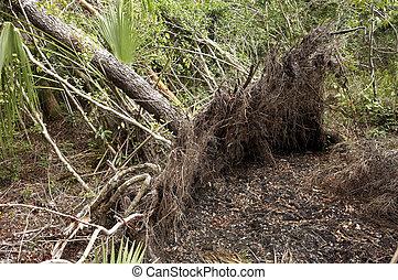 Fallen tree after hurricane wilma in mahogany hammock,...