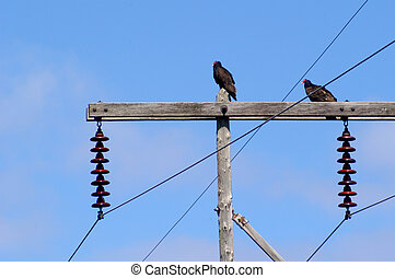 Turkey Vultures - Two turkey vultures on utility pole...
