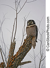 hawk owl - a hawk owl in a tree