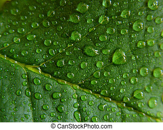 Water droplets on green leaf, fresh