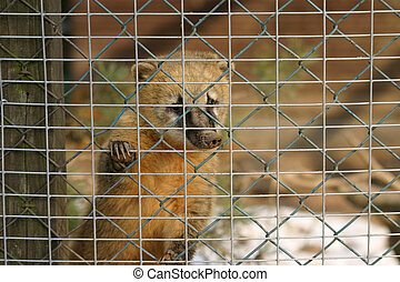 Coati - Young coati in a cage