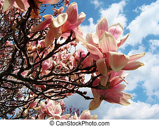 Magnolia Tree - Blooming magnolia tree in spring