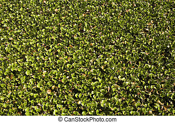 water hyacinth - Carpet of water hyacinth growing at Kirby...