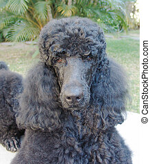 Poodle - Pure breed giant black poodle