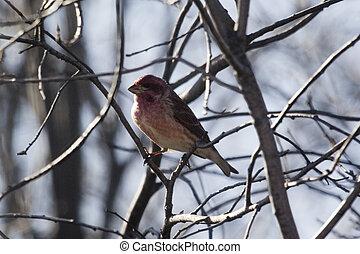 Purple Finch-rare - a purple finch in a tree