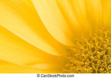 Yellow Daisy Macro - Photo of a yellow daisy bloom shot up...