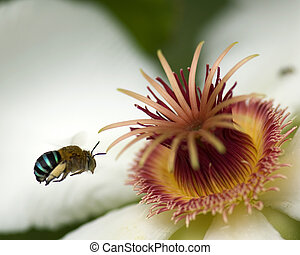 Flower and Bee - Bee hovering near tropical flower