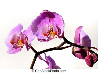 Flowers 58 - Violet orchids flowers background