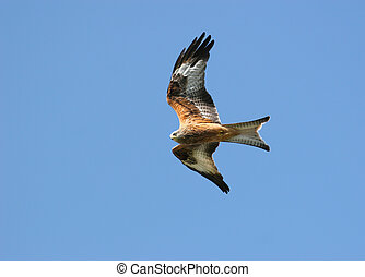 Flying Free - Red Kite eagle flying alone on a blue sky day.