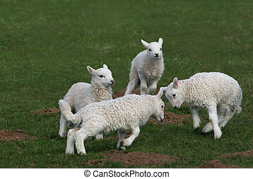 Let Battle Commence - Four lambs in a field in spring with...