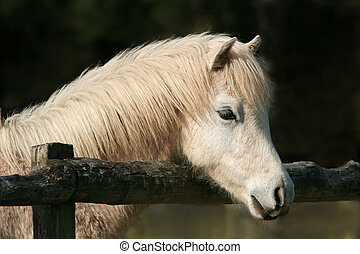 Peaceful Pony - Portrait of a white foal. Welsh Section B...