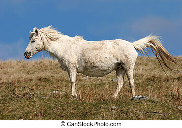 Pregnant Pony - Pregnant white Welsh wild mountain pony...