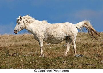 Pregnant Pony - Pregnant white Welsh wild mountain pony...