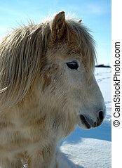 Shetland Pony - Shetland pony in winter
