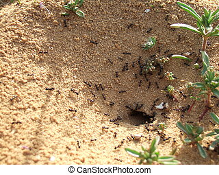 Anthill - Ants in their nest Netania, Israel