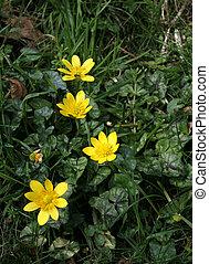 Lesser Celandine Wild Flowers - Lesser Celandiine wild...