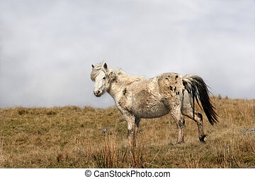 Wild Mountain Pony - Pregnant Welsh wild mountain pony...