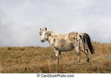 Wild Mountain Pony - Pregnant Welsh wild mountain pony...