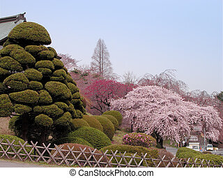 Spring Japanese garden with specific pines and cherry...