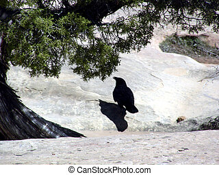 Shadowy Creature - Black bird on the rock under a Pinon Tree...