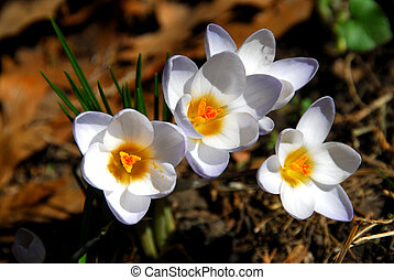Crocus - White crocus flowers