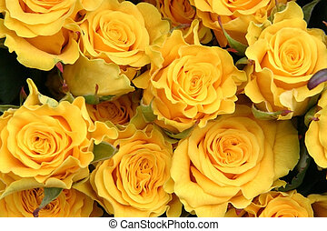 Yellow roses - lot of yellow roses