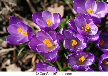Spring crocuses closeup - Closeup of spring crocuses with...