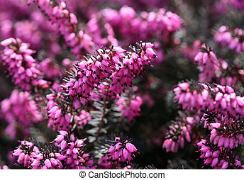 Closeup of Erica carnea - Winter flowering heather, garden...