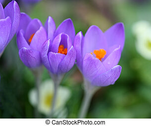 Pleasant spring crocuses - Closeup of crocus petals with...