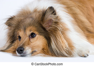 Sad Dog - Sad looking Shetland Sheepdog