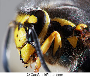 wasp close -up