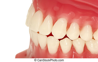 Teeth - Dental Model of Teeth