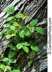 Poison Oak in bud, growing on a cedar tree