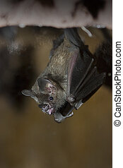 Bat - a bat hanging upside down