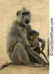 yellow baboon mother and infant - female yellow baboon with...