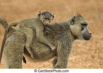 baboon mother and infant - baboon mother carrying infant on...