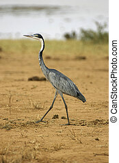 black necked heron walking on red soil of tsavo national...