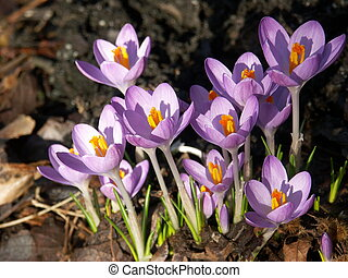 lilac crocuses - First spring flowers coming out of foliage...