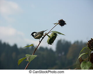 Great Tit - Great tit on a sunflower