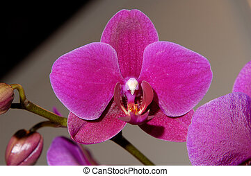 Flowers 62 - Deep purple orchid flower background