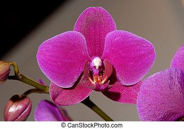 Flowers 62 - Deep purple orchid flower background