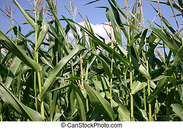 Corn plants - Maize field in early summer