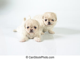Two pekines puppies - Six weeks old pure breed Pekinese...
