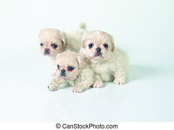 Six weeks old pure breed Pekinese puppies