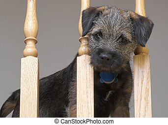 border terrier puppy looking through banister railing